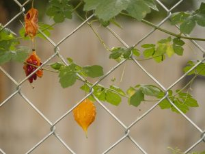 Photo of Momordica Charantia or Bitter Melon, a subtropical vine growing on a fence